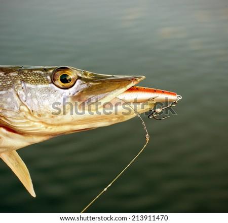 Pike with crank teeth - stock photo