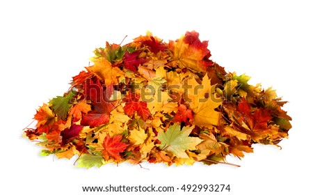 Pile of autumn colored leaves isolated on white background.A heap of different maple dry leaf .