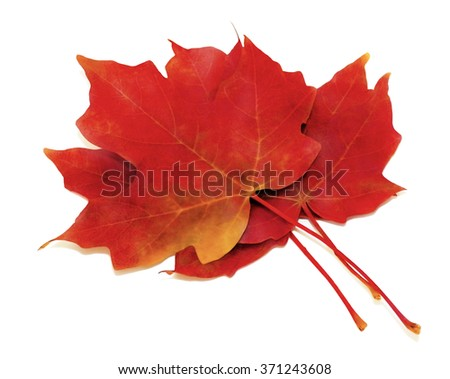 Pile of Autumn Maple Leaves on White Background
