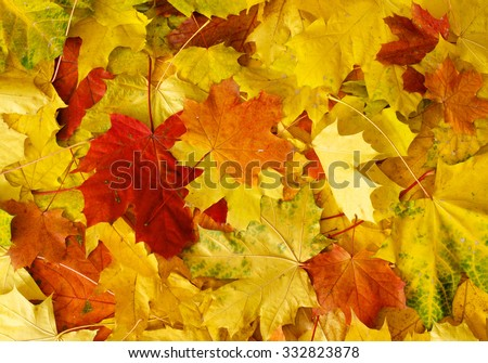 Pile of autumn red, green and yellow maple leaves