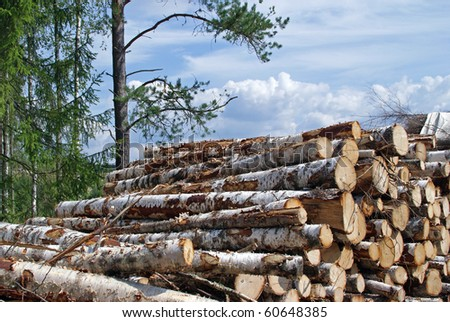 Pile of Birch Wood Logs at the Edge of Forest - stock photo