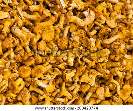 Pile of chanterelle mushrooms for cooking - stock photo