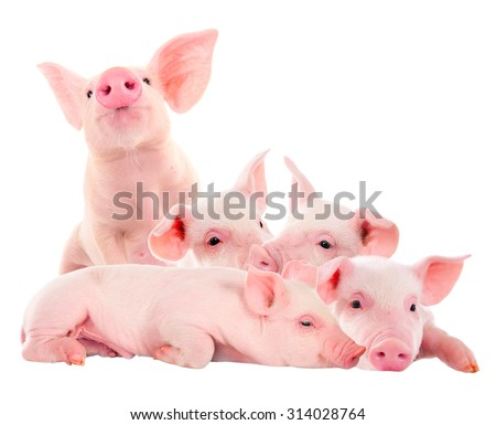 Pile of fun, pink pigs. Isolated on white background. A series of photos. - stock photo