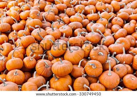 Pile of miniature pumpkins in a pumpkin patch background - stock photo