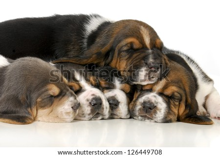 pile of puppies - litter of basset hound puppies - 3 weeks old - stock photo