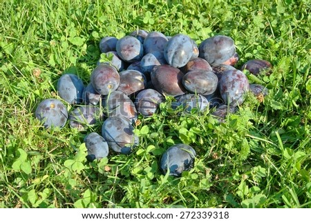 Pile of ripe blue plums on the grass in an orchard, on a sunny day. Raw, natural, healthy, organic produce concept. - stock photo