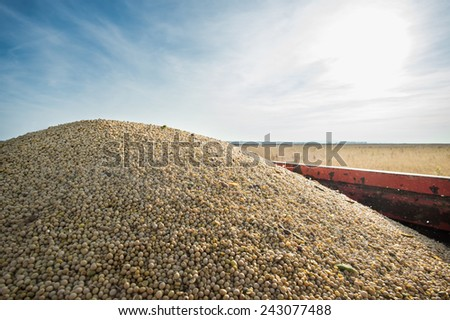 Pile of soybeans in the trailer - stock photo