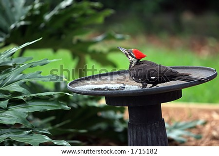 Pileated Woodpecker - stock photo