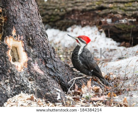 Pileated Woodpecker (Dryocopus pileatus)  - stock photo
