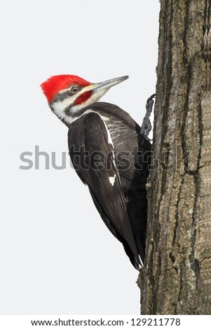 Pileated Woodpecker (Dryocopus pileatus) on the trunk of an oak tree - Grand Bend, Ontario - stock photo