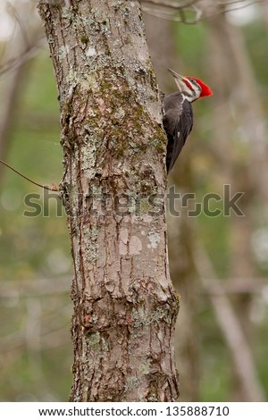 Pileated Woodpecker (Dryocopus pileatus) on tree - stock photo