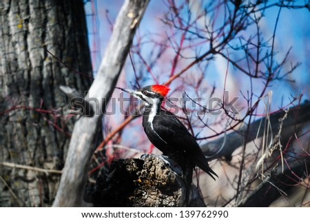 Pileated Woodpecker in the forest in spring, Alberta Canada - stock photo
