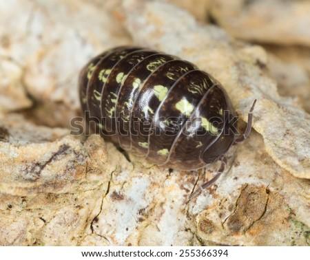 Pillbug  - stock photo