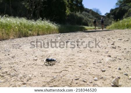 Pinacate beetle (aka Stink Beetle) - stock photo