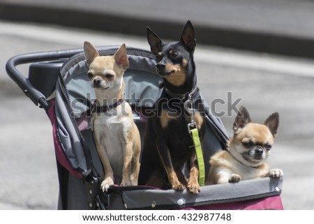 pincer and chihuahua in stroller