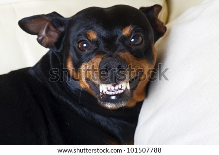 pincher dog in defense ready to protect - stock photo
