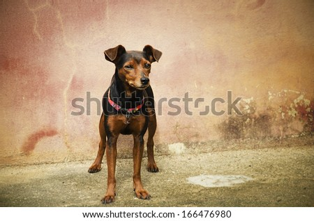 Pincher dog  in front of wall background - stock photo