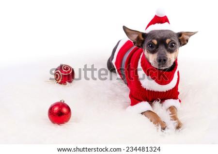 Pincher dog ready for Christmas