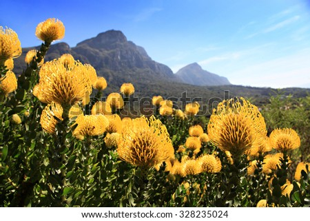 Pincushion Proteas in Kirstenboch Botanical Gardens, Cape Town, South Africa.  Unique fynbos of Africa. Foot of Table Mountain. - stock photo