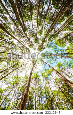 Pine Agroforestry at Boa Keaw Silvicultural Research Station, Thailand. - stock photo
