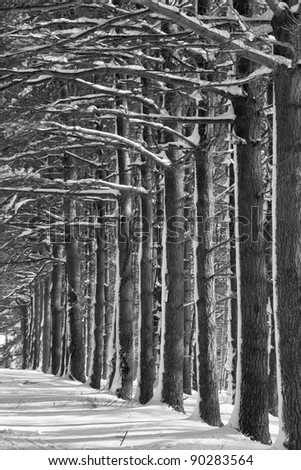 Pine alley in winter