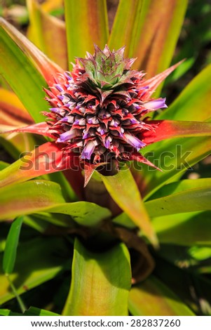 Pine apple fruit plant in close up lit by the sun - stock photo