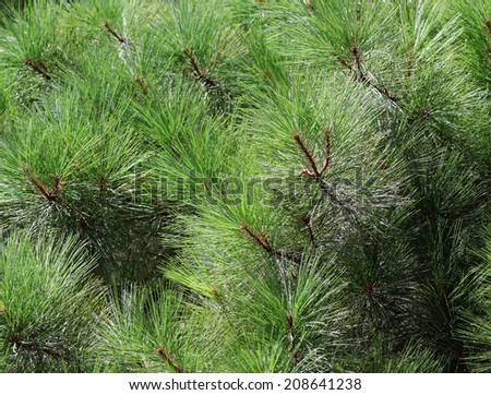 pine background - stock photo