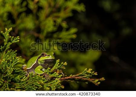 Pine Barrens Treefrog - stock photo