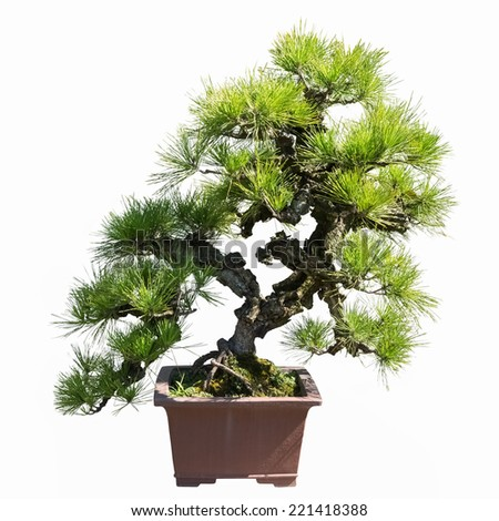 pine bonsai isolated on a white background