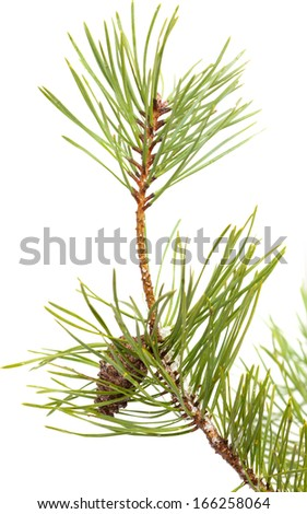 pine brach with ice and snow  isolated on white - stock photo