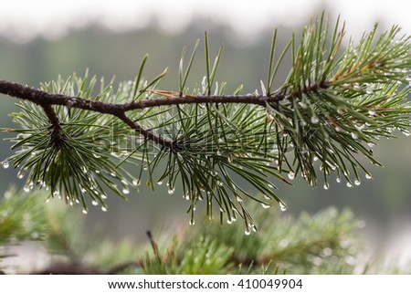 pine branch after a rain close up - stock photo