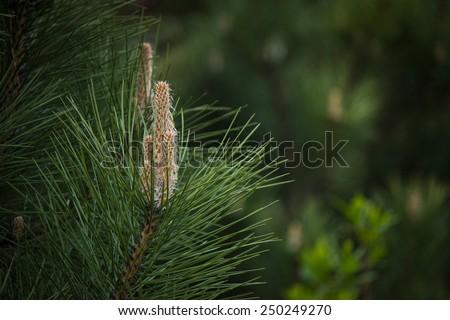 Pine branch close up - stock photo