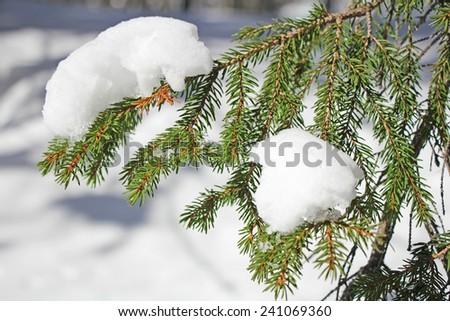 Pine branch covered with fresh snow on outdoors