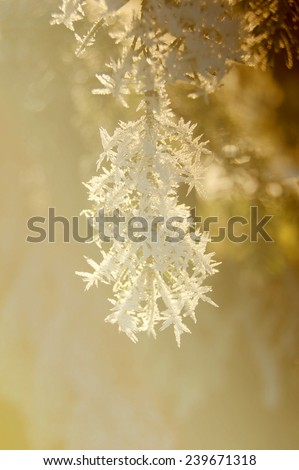 pine branch in snow, frost color brown, bright, sunny hanging - stock photo
