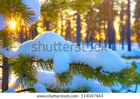 Pine branch in snow. Winter sunset in the forest. - stock photo