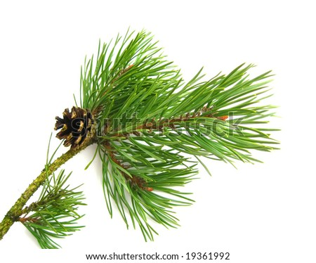 pine branch isolated - stock photo