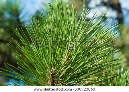 Pine branch on the sky background - stock photo