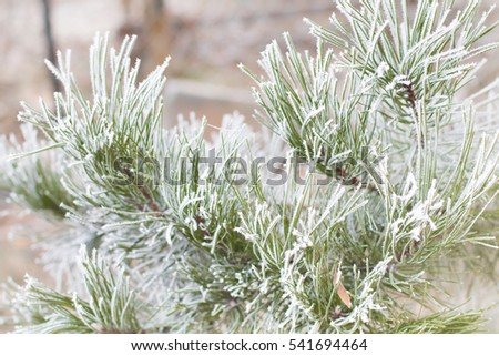 Pine branch with long needles covered with frost and snow. Cold winter and christmas tree background.