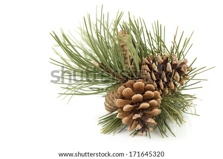 Pine branch with pine cones - stock photo
