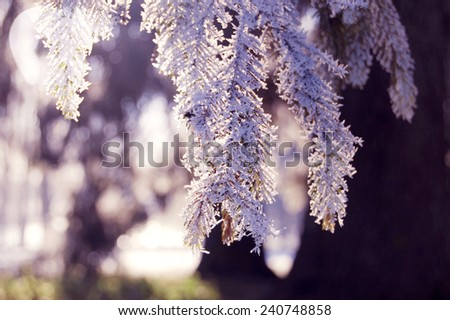 pine branch with snow with glowing rays of the sun - stock photo