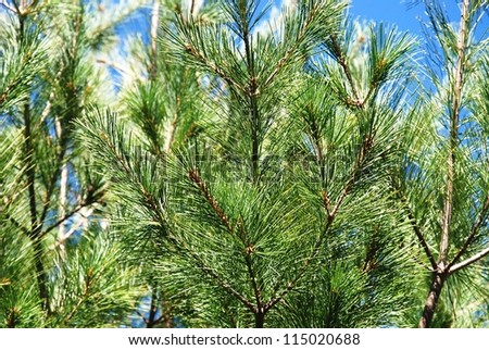 pine branches - stock photo
