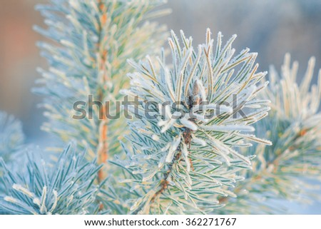 Pine branches, frost, winter
