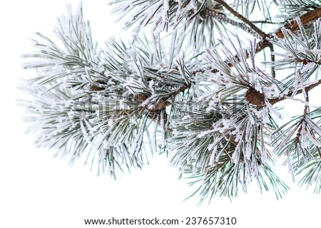 Pine branches in horn. Winter morning background. Close up image christmas decoration - stock photo