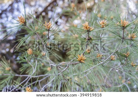 Pine branches in winter - stock photo