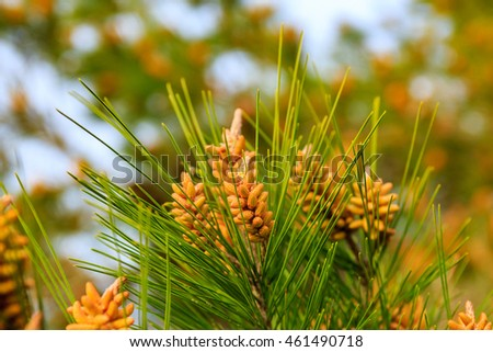 Pine branches on the bright sunlight