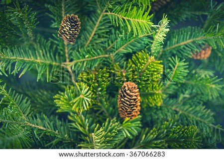 Pine branches with fir-cone. Vintage color effect. Shallow depth of field.