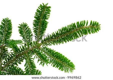 Pine brunch - stock photo