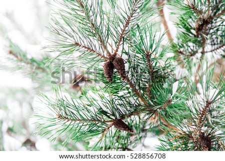 Pine christmas tree winter branch in snow with bumps