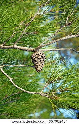 pine-cone - stock photo