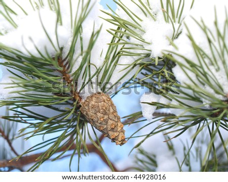 Pine cone in a pine tree with snow, winter season - stock photo